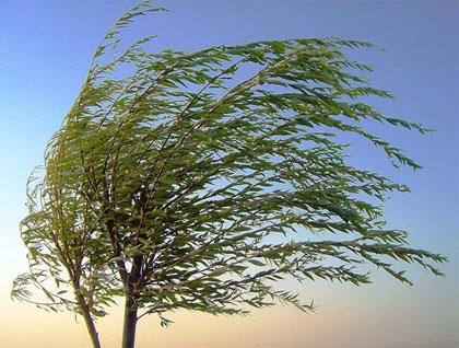 drzewo na wietrze - ilustracja